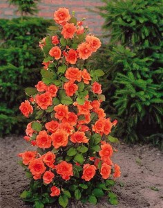 rosier arbustre